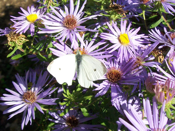 White Cabbage Butterfly (Pieris rapae)