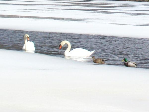 Mute Swans and Mallards